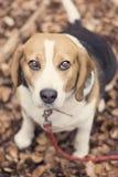 Beagle Fotografía de archivo