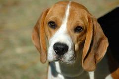 beagle Стоковое Фото
