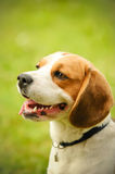 Beagle Royalty Free Stock Image