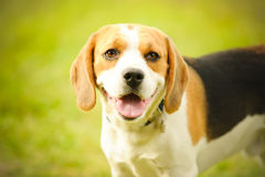 Beagle Royalty Free Stock Photos