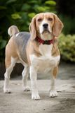 beagle Obrazy Stock