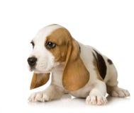 beagle Arkivfoto