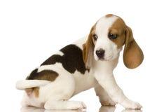 beagle Zdjęcia Stock