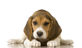 beagle Royaltyfri Fotografi