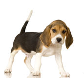 beagle Obrazy Stock
