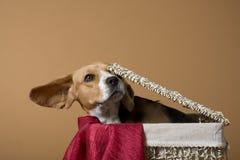 Beagle_3 Royalty Free Stock Photos