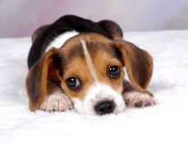 Beagle 3. Beagle pup laying down resting royalty free stock photography