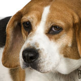 Beagle (3 years) Royalty Free Stock Photography