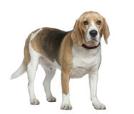 Beagle, 3 years old, standing Royalty Free Stock Photo
