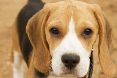Beagle Royaltyfri Bild