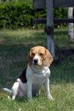 Beagle Obraz Royalty Free