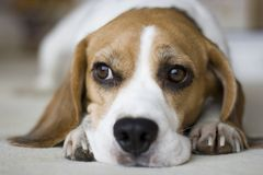 Beagle Royalty Free Stock Photo