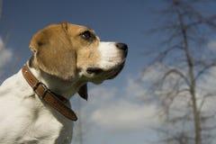 Beagle Fotos de archivo