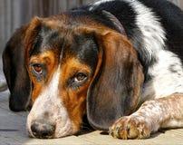 Beagle Fotografering för Bildbyråer