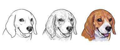 beagle Fotografia Stock