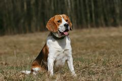 Beagle. With tongue outside sitting on meadow Stock Image