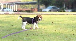 beagle Immagini Stock Libere da Diritti
