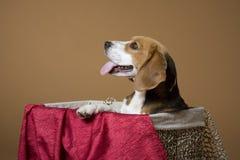 Beagle_5 imágenes de archivo libres de regalías