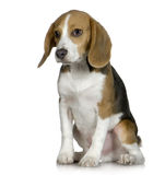 Beagle (5 months) Royalty Free Stock Photography
