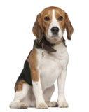 Beagle, 5 years old, sitting