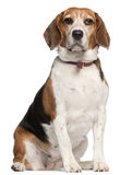 Beagle, 5 years old, sitting Stock Photo