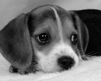 Beagle. Pup pondering (black & white royalty free stock images