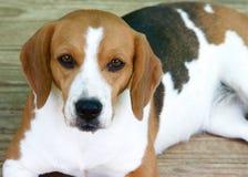 beagle Стоковая Фотография