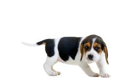 beagle Zdjęcie Stock