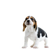 beagle Obraz Stock