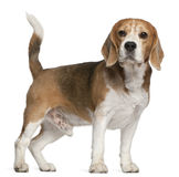 Beagle, 8 years old, standing Royalty Free Stock Photography