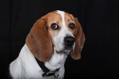 Beagle. Portrait of adorable young Beagle Royalty Free Stock Photos