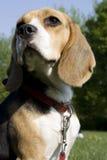 Beagle imágenes de archivo libres de regalías