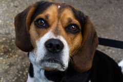 Beagle. Adult male beagle dog looking at you in spring royalty free stock image