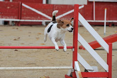 Beagle in agility Royalty Free Stock Image