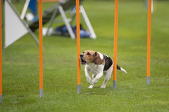 Beagle in agility. Purebred dog Beagle running on agility competition. He is between yellow poles. He is very excited and barking. Photography shows that all dog stock photography