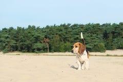 Beagle al aire libre Foto de archivo libre de regalías