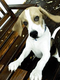Beagle al aire libre Imagenes de archivo