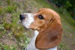 Beagle alerta fotografía de archivo