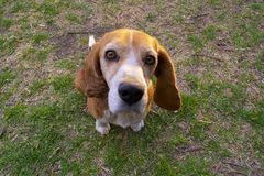 Beagle amistoso y fiel fotografía de archivo