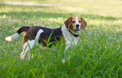 Beagle attitude Royalty Free Stock Photos