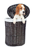 Beagle in basket Stock Photo