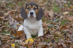 Beagle Basset Puppy in Leaves Stock Photography