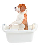 Beagle in bath Royalty Free Stock Photography