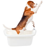Beagle in bath Royalty Free Stock Images