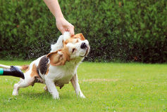 Beagle bath Stock Photo