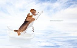 Beagle in bath Stock Images