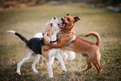 beagle bawić się szczeniaka Fotografia Royalty Free