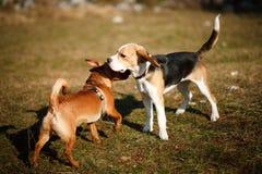 beagle bawić się szczeniaka Zdjęcia Stock