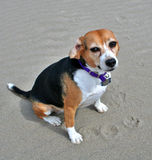 Beagle on the beach. A content middle aged female beagle enjoying a day on the beach Royalty Free Stock Photos