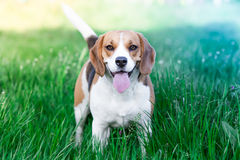 Beagle Stock Image